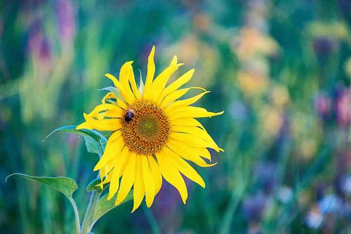 Sonnenblume am Görauer Anger