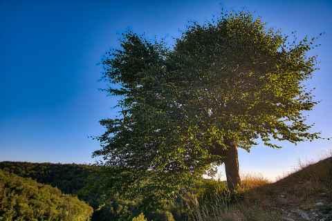 Baum auf der Ruine Niesten