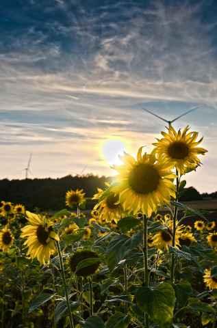Sonnenblumen auf der Flur nahe Zultenberg
