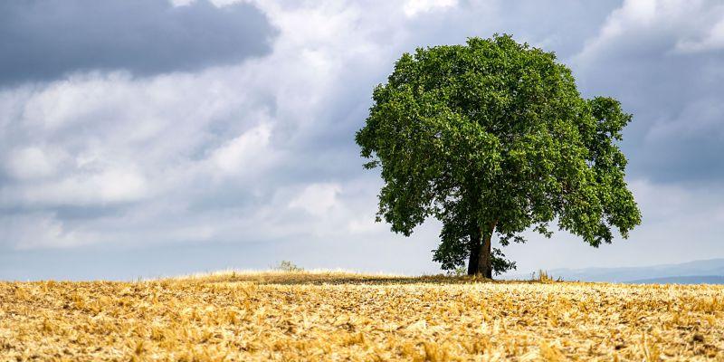 Baum am Görauer Anger