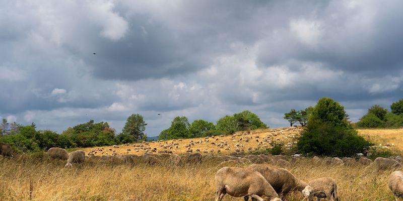 Schafe am Görauer Anger
