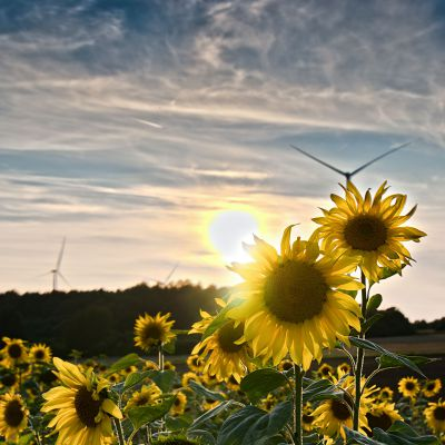 Sonnenblumen nahe des Görauer Anger